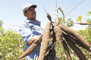 De acuerdo con las estadísticas del Centro de Trámites de las Exportaciones (Cetrex), el año pasado solo se colocaron en el mercado externo 8,134 toneladas de quiquisque y malanga. LAPRENSA/ARCHIVO