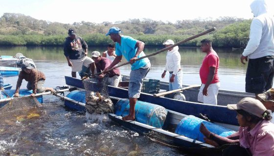 cosecha de pargos, Nicaragua, cosecha de peces Nicaragua