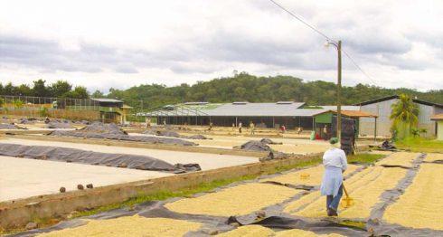 El café de las fincas de San Juan de Río Coco está en los patios de secado de Palacagüina LA PRENSA/ W. ARAGÓN