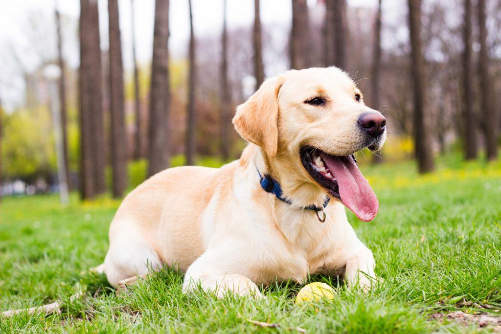 The six breeds of dogs most popular Nicaragua - La Prensa (Nicaragua) 1
