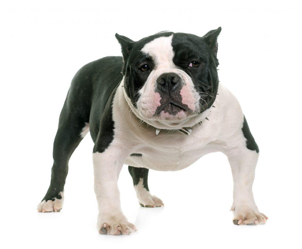 The six breeds of dogs most popular Nicaragua - La Prensa (Nicaragua) 5