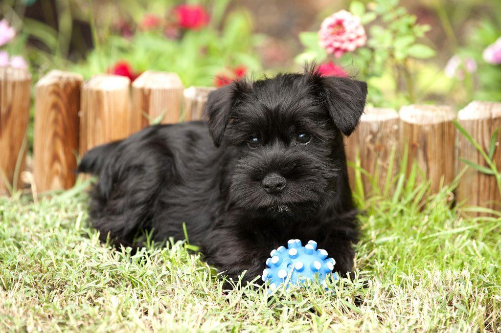 The six breeds of dogs most popular Nicaragua - La Prensa (Nicaragua) 6