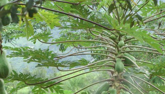 Fumigando plantíos de papaya. LA PRENSA/René Ortega