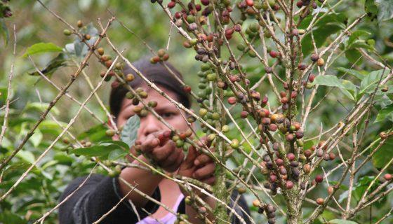 plantíos de café, Matagalpa, Jinotega