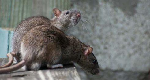 leptospirosis, ratas, Nicaragua, salud