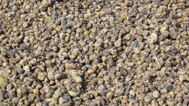 Para hacer chuño, las papas se congelan por las noches y se deshidratan al sol durante el día. CRISTINA FONSECA/PAPA ANDINA-CIP