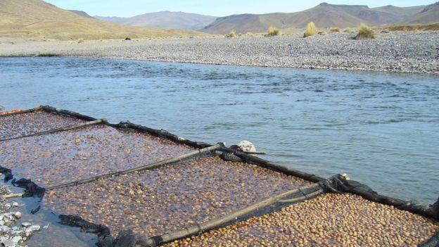 Para hacer chuño blanco o tunta hay que poner el chuño negro en agua corriente, en depósitos como costales, jarras o canastas. CRISTINA FONSECA/PAPA ANDINA-CIP