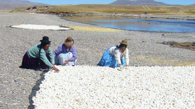 De la cosecha total de papas el agricultor andino primero separa papas como semillas para el año siguiente, después separa papas frescas para consumo inmediato y el resto se reserva para hacer chuño. CRISTINA FONSECA/PAPA ANDINA-CIP