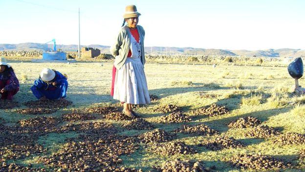 Hay ciertos cantos y bailes tradicionales durante el pisado del chuño. CRISTINA FONSECA/PAPA ANDINA-CIP