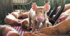 Cerdos en Nicaragua