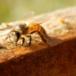 Abejas están en riesgo por monocultivos y clima